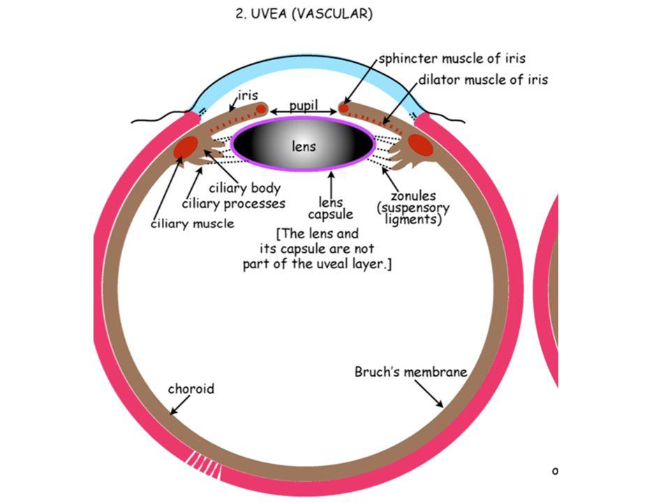 Retina Photoreceptors: contain photopigment in discs located within outermost segment.