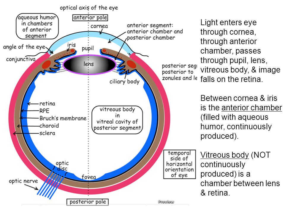 Fovea Specialized for the highest acuity, high resolution vision Small area, temporal to the optic disk.
