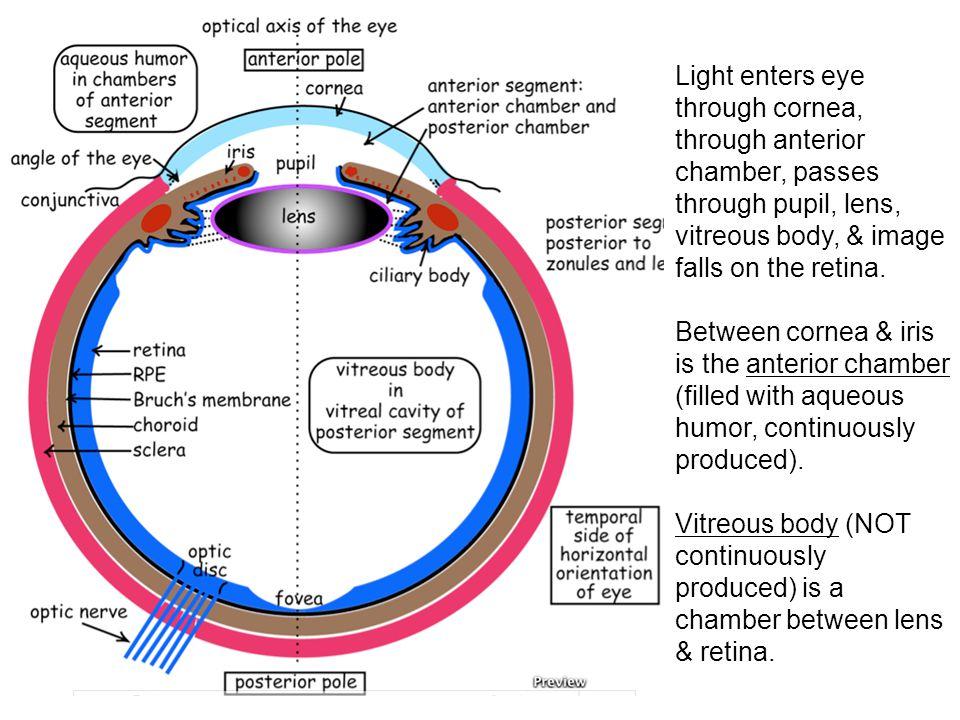 Light enters eye through cornea, through anterior chamber, passes through pupil, lens, vitreous body, & image falls on the retina. Between cornea & ir
