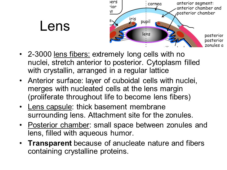 Lens 2-3000 lens fibers: extremely long cells with no nuclei, stretch anterior to posterior.