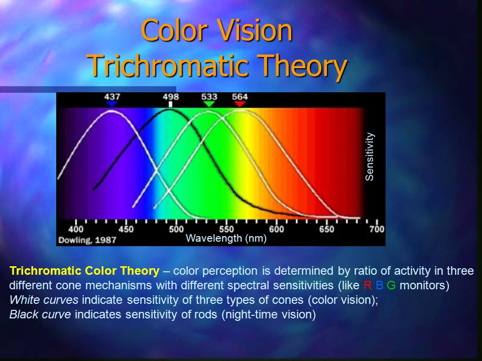 Color Vision Trichromatic Theory Trichromatic Color Theory – color perception is determined by ratio of activity in three different cone mechanisms with different spectral sensitivities (like R B G monitors) White curves indicate sensitivity of three types of cones (color vision); Black curve indicates sensitivity of rods (night-time vision) Sensitivity Wavelength (nm)
