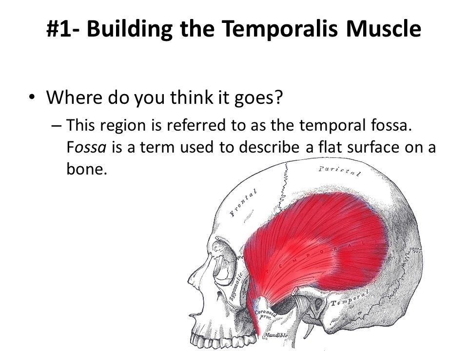 #1- Building the Temporalis Muscle Where do you think it goes? – This region is referred to as the temporal fossa. Fossa is a term used to describe a
