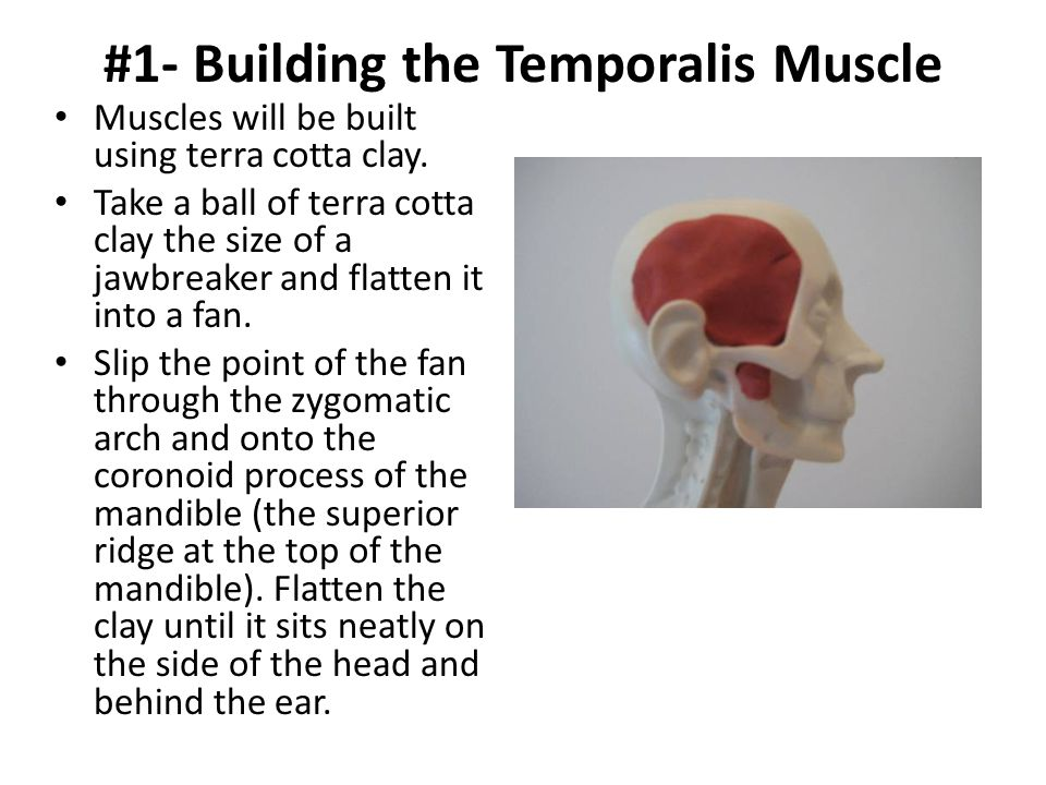 #1- Building the Temporalis Muscle Muscles will be built using terra cotta clay. Take a ball of terra cotta clay the size of a jawbreaker and flatten
