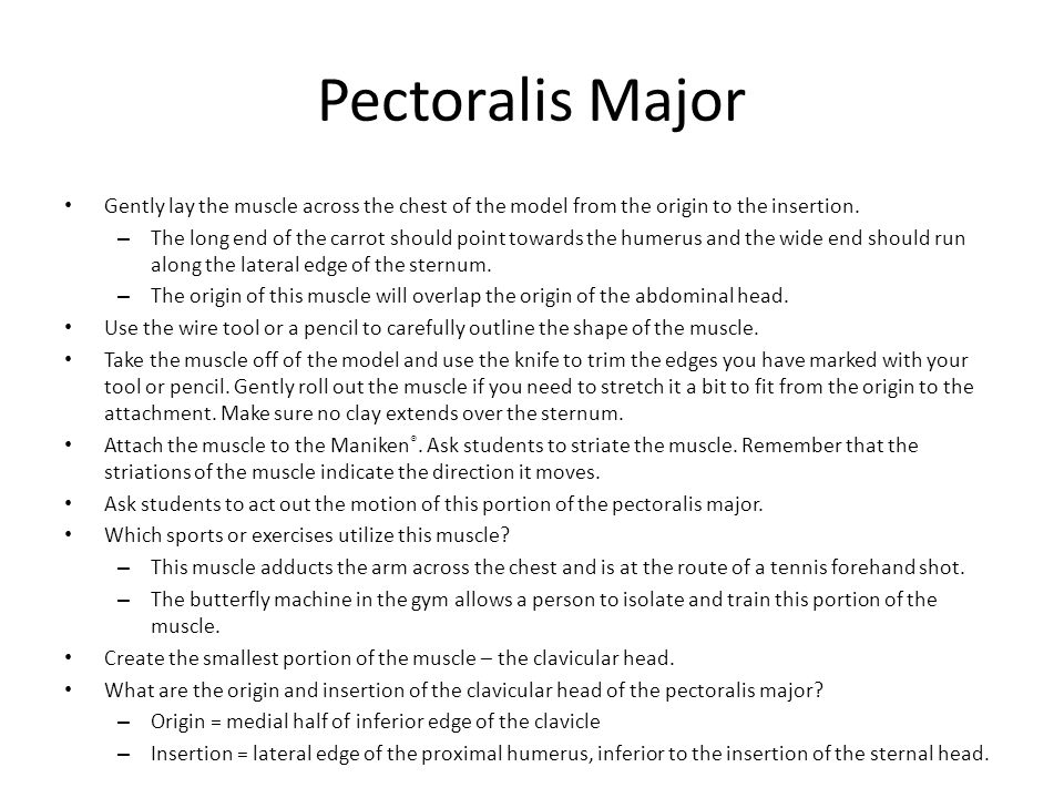 Pectoralis Major Gently lay the muscle across the chest of the model from the origin to the insertion. – The long end of the carrot should point towar