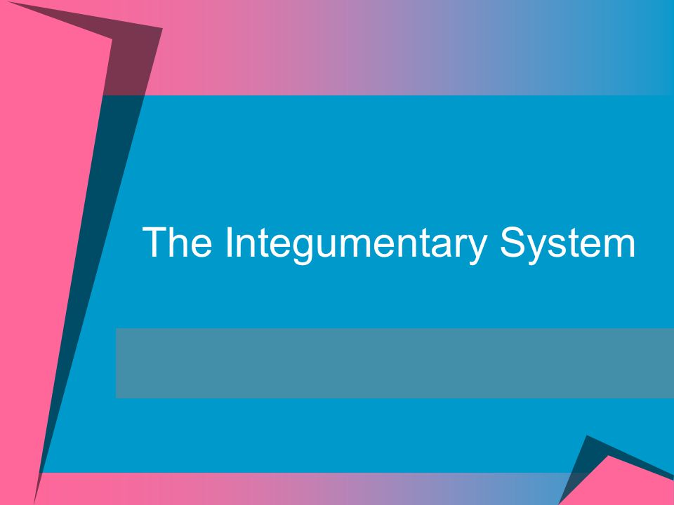 Integumentary System Includes:  Skin (cutaneous membrane)  Subcutaneous tissue below the skin  Accessory Structures  Sweat glands  Sebaceous or oil glands  Hair  Nails