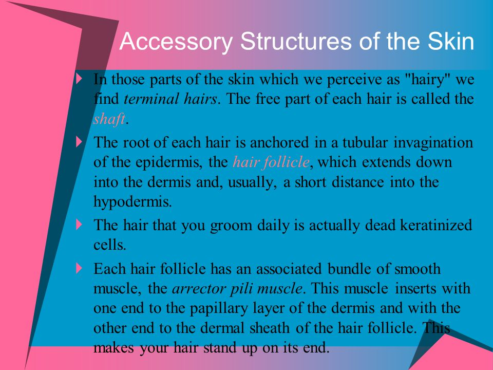 Accessory Structures of the Skin  In those parts of the skin which we perceive as