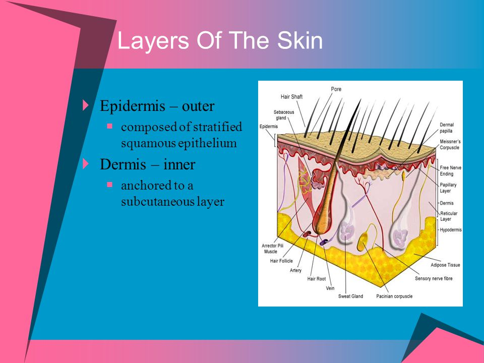 Epidermis  Composed of stratified squamous epithelium  Avascular as it has no blood supply of its own  Oxygen and nutrients diffuse from the underlying dermis  The epidermis is a keratinized stratified squamous epithelium.