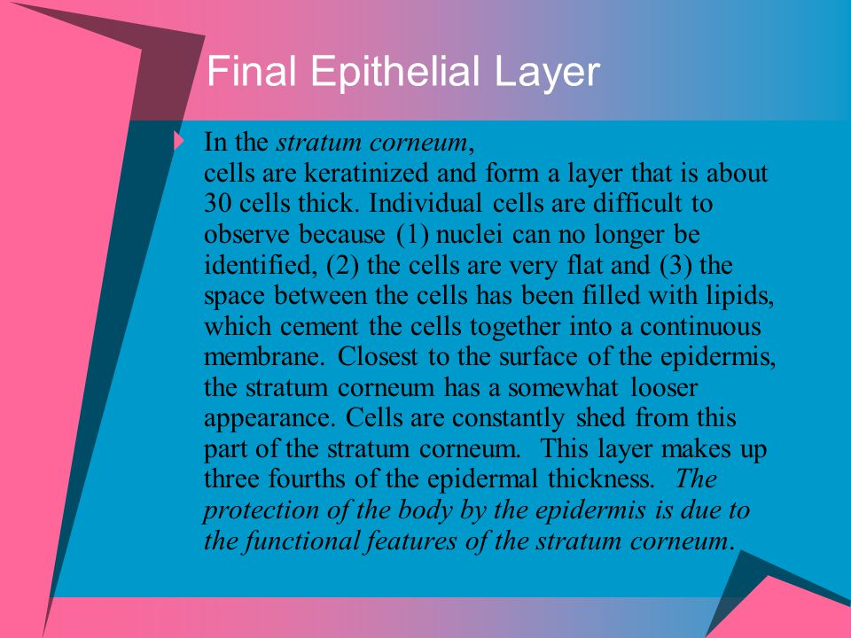  In the stratum corneum, cells are keratinized and form a layer that is about 30 cells thick. Individual cells are difficult to observe because (1) n