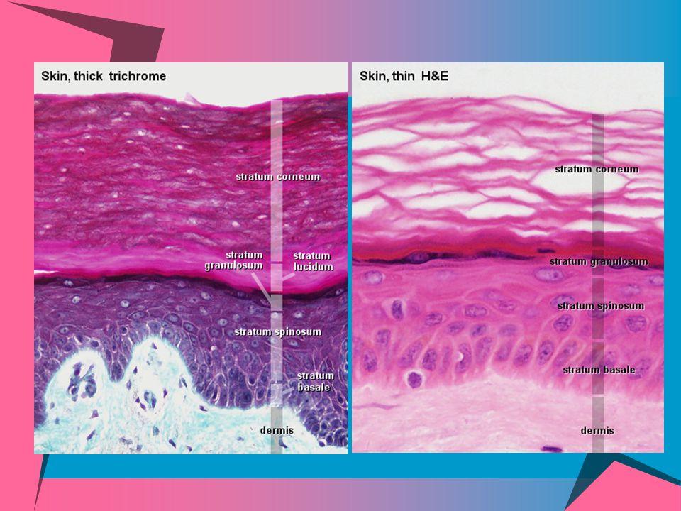 Dermis or corium  The dermis, or corium, consists of dense fibrous connective tissue with numerous collagenous and elastic fibers.
