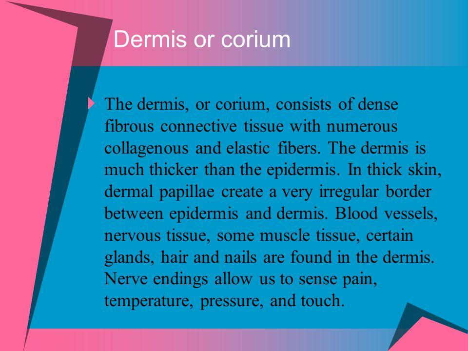 Dermis or corium  The dermis, or corium, consists of dense fibrous connective tissue with numerous collagenous and elastic fibers. The dermis is much