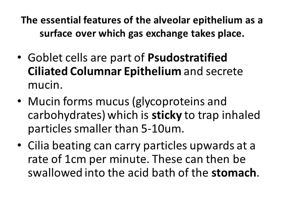 The essential features of the alveolar epithelium as a surface over which gas exchange takes place.