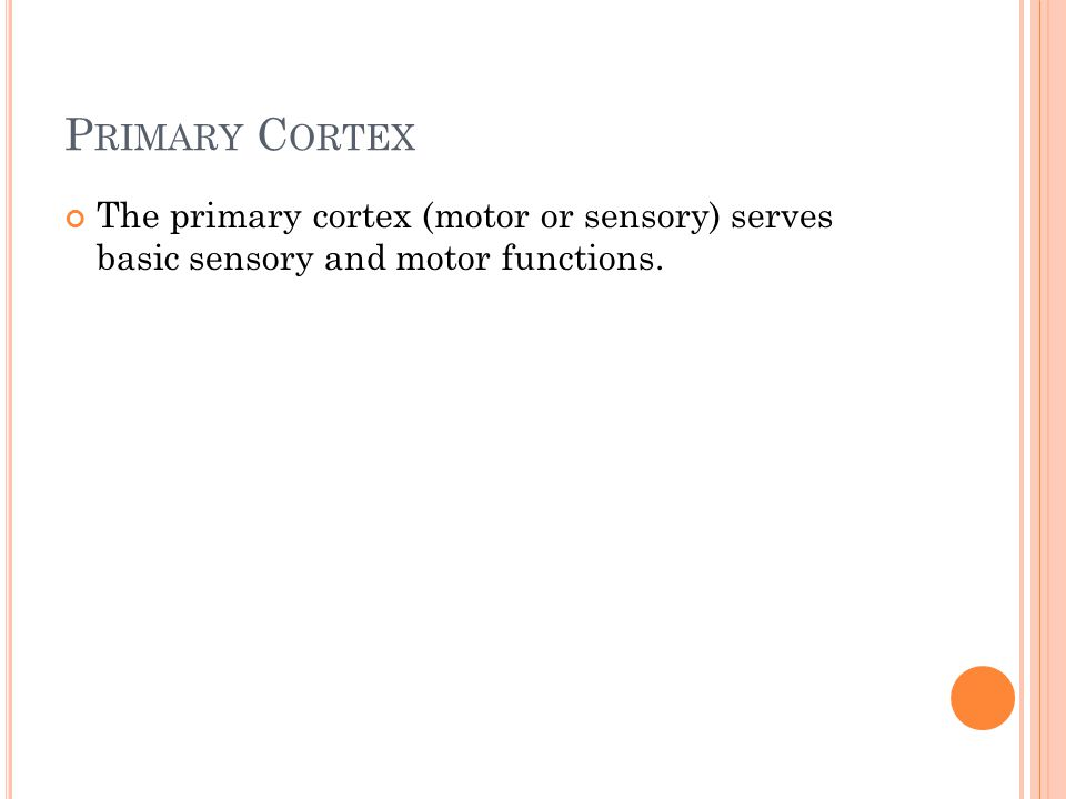 P RIMARY C ORTEX The primary cortex (motor or sensory) serves basic sensory and motor functions.