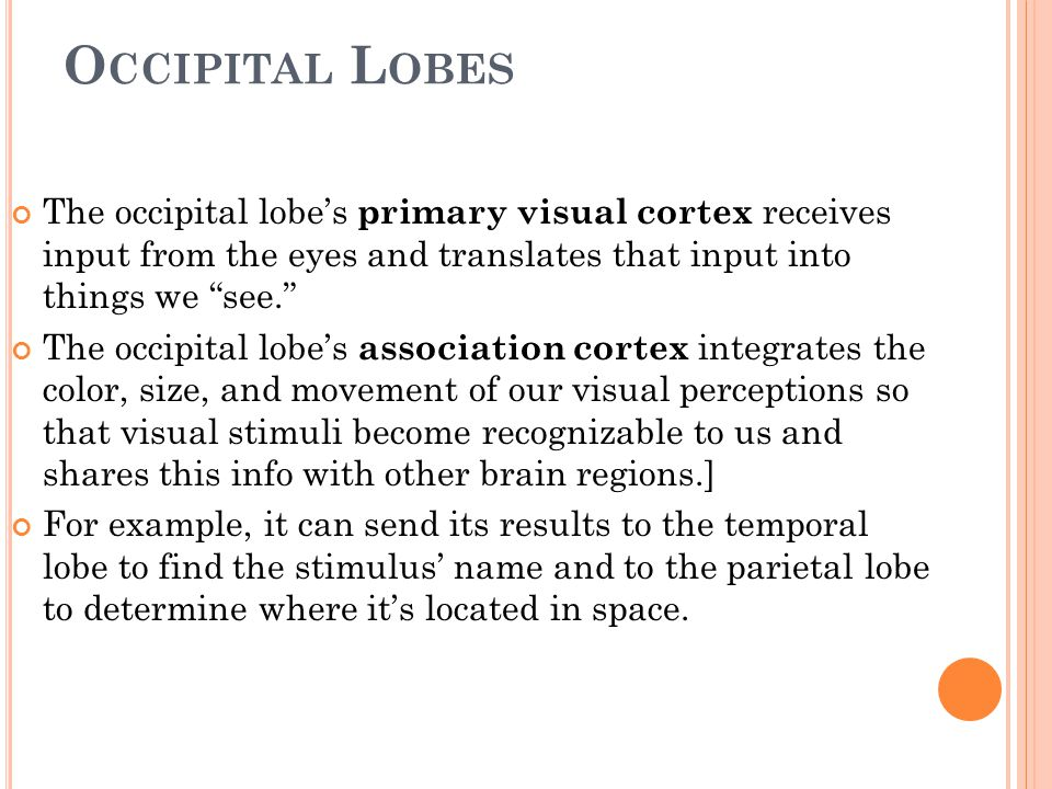 "O CCIPITAL L OBES The occipital lobe's primary visual cortex receives input from the eyes and translates that input into things we ""see."" The occipita"