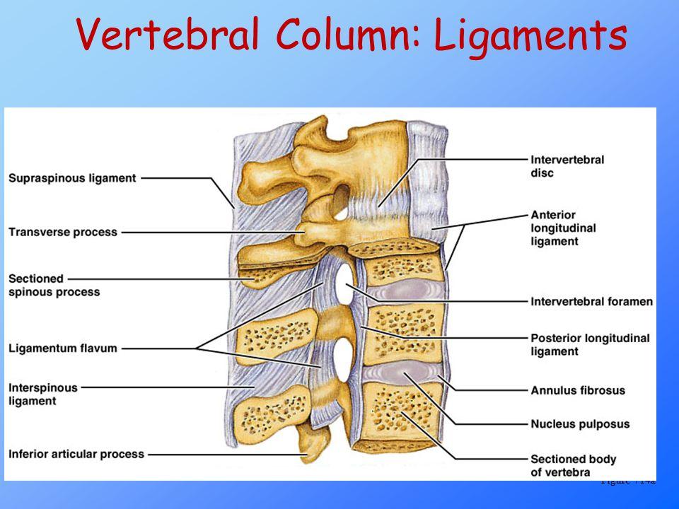 Vertebral Column: Ligaments Figure 714a
