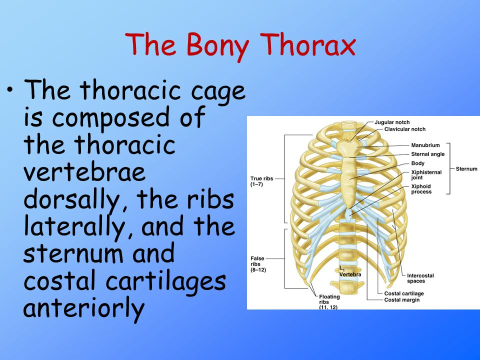 The Bony Thorax The thoracic cage is composed of the thoracic vertebrae dorsally, the ribs laterally, and the sternum and costal cartilages anteriorly