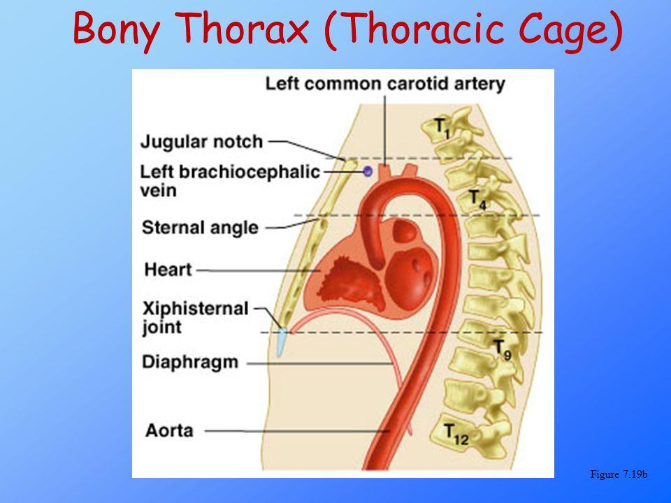 Bony Thorax (Thoracic Cage) Figure 7.19b