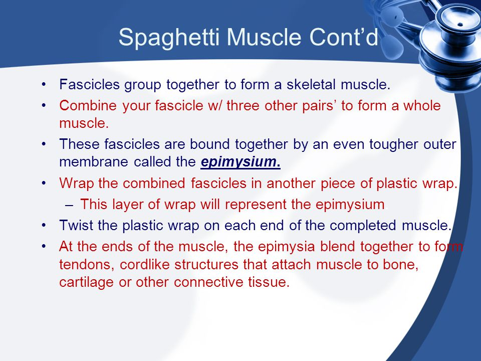 Spaghetti Muscle Cont'd Fascicles group together to form a skeletal muscle. Combine your fascicle w/ three other pairs' to form a whole muscle. These