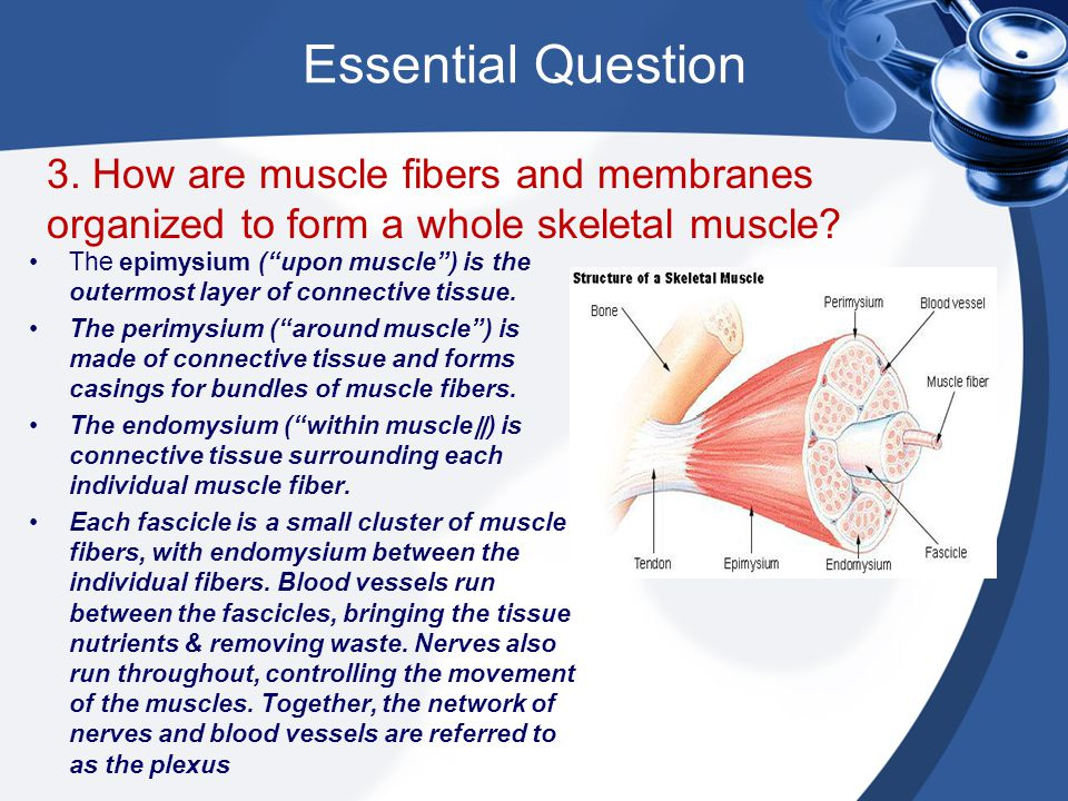 """Essential Question 3. How are muscle fibers and membranes organized to form a whole skeletal muscle? The epimysium (""""upon muscle"""") is the outermost la"""