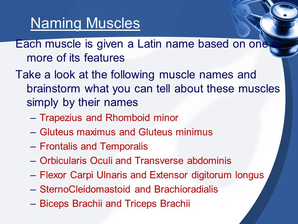 Naming Muscles Each muscle is given a Latin name based on one or more of its features Take a look at the following muscle names and brainstorm what yo