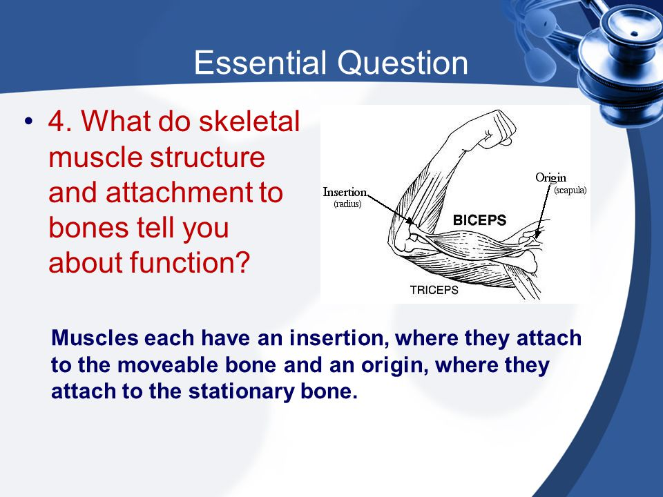 Essential Question Muscles each have an insertion, where they attach to the moveable bone and an origin, where they attach to the stationary bone. 4.