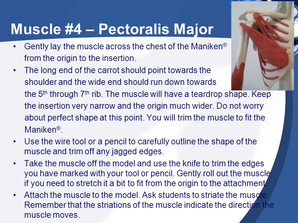 Muscle #4 – Pectoralis Major Gently lay the muscle across the chest of the Maniken ® from the origin to the insertion. The long end of the carrot shou