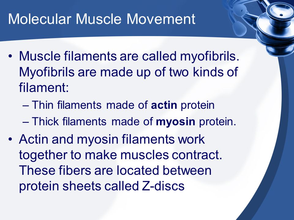 Molecular Muscle Movement Muscle filaments are called myofibrils. Myofibrils are made up of two kinds of filament: –Thin filaments made of actin prote