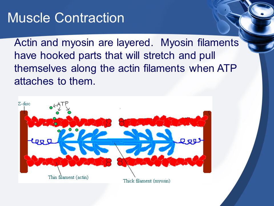 Muscle Contraction Actin and myosin are layered. Myosin filaments have hooked parts that will stretch and pull themselves along the actin filaments wh