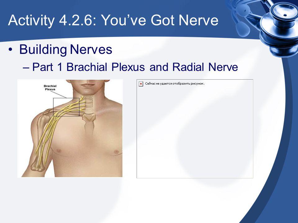 Activity 4.2.6: You've Got Nerve Building Nerves –Part 1 Brachial Plexus and Radial Nerve