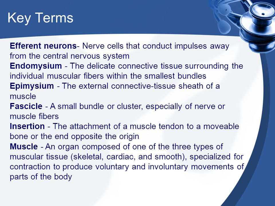 Key Terms Efferent neurons- Nerve cells that conduct impulses away from the central nervous system Endomysium - The delicate connective tissue surroun