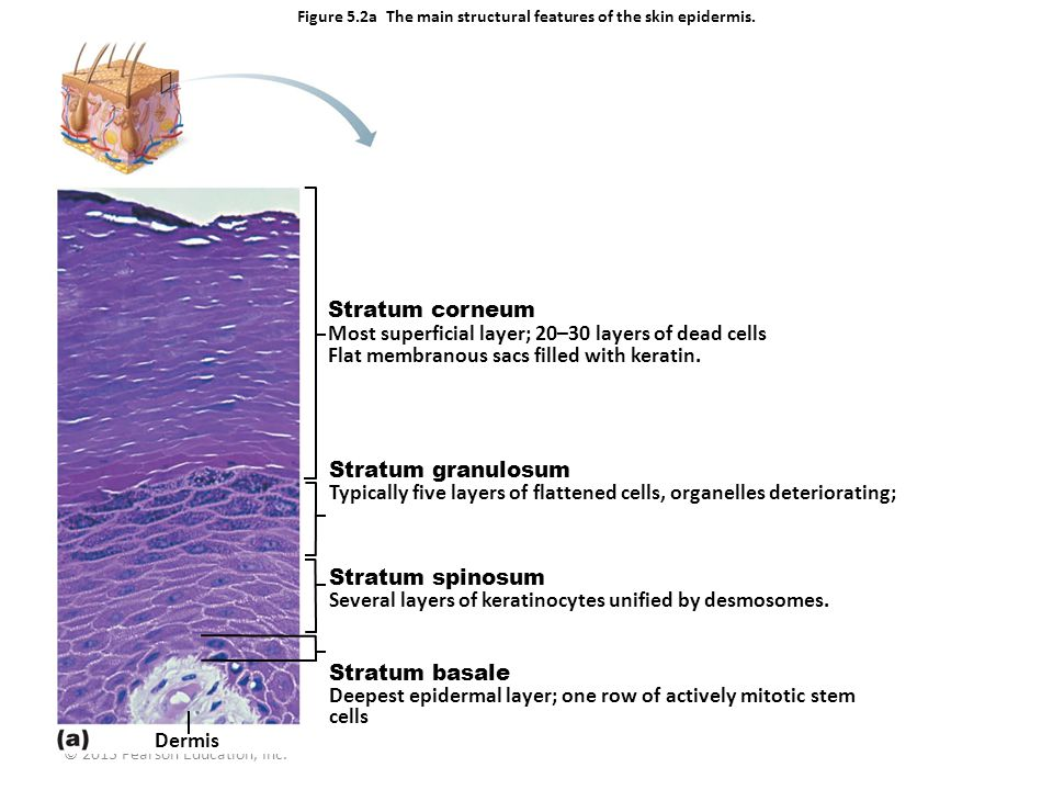 © 2013 Pearson Education, Inc. Figure 5.2a The main structural features of the skin epidermis. Dermis Stratum spinosum Several layers of keratinocytes