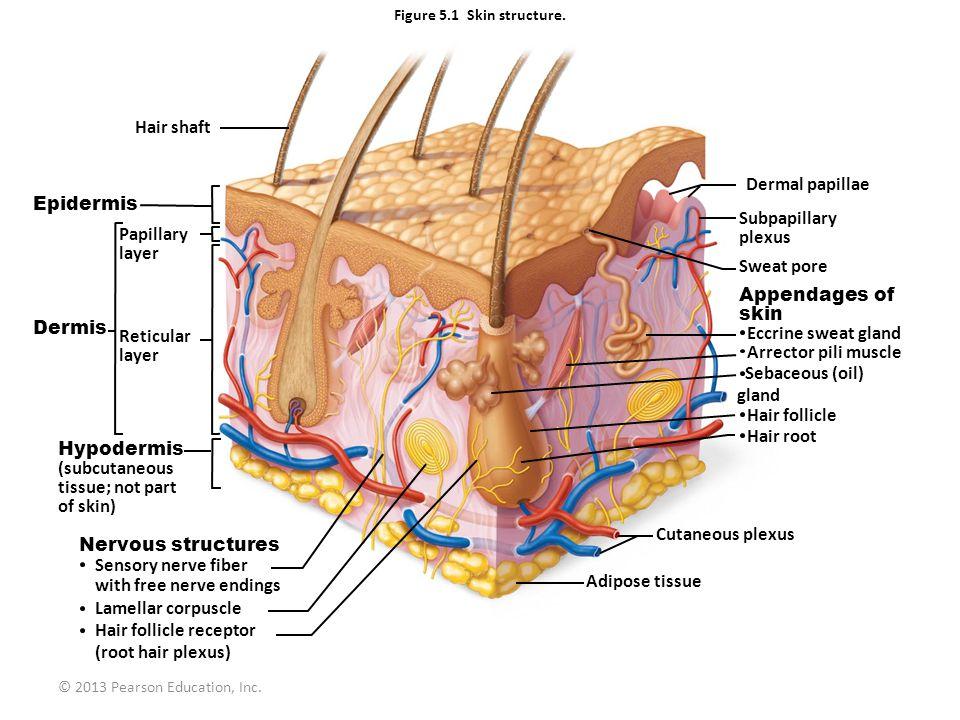 © 2013 Pearson Education, Inc. Figure 5.1 Skin structure. Hair shaft Epidermis Papillary layer Dermis Reticular layer Hypodermis (subcutaneous tissue;
