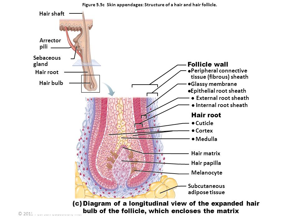 © 2013 Pearson Education, Inc. Figure 5.5c Skin appendages: Structure of a hair and hair follicle. Follicle wall Peripheral connective tissue (fibrous