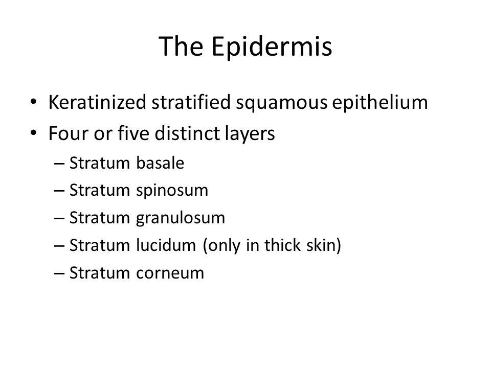 The Epidermis Keratinized stratified squamous epithelium Four or five distinct layers – Stratum basale – Stratum spinosum – Stratum granulosum – Strat