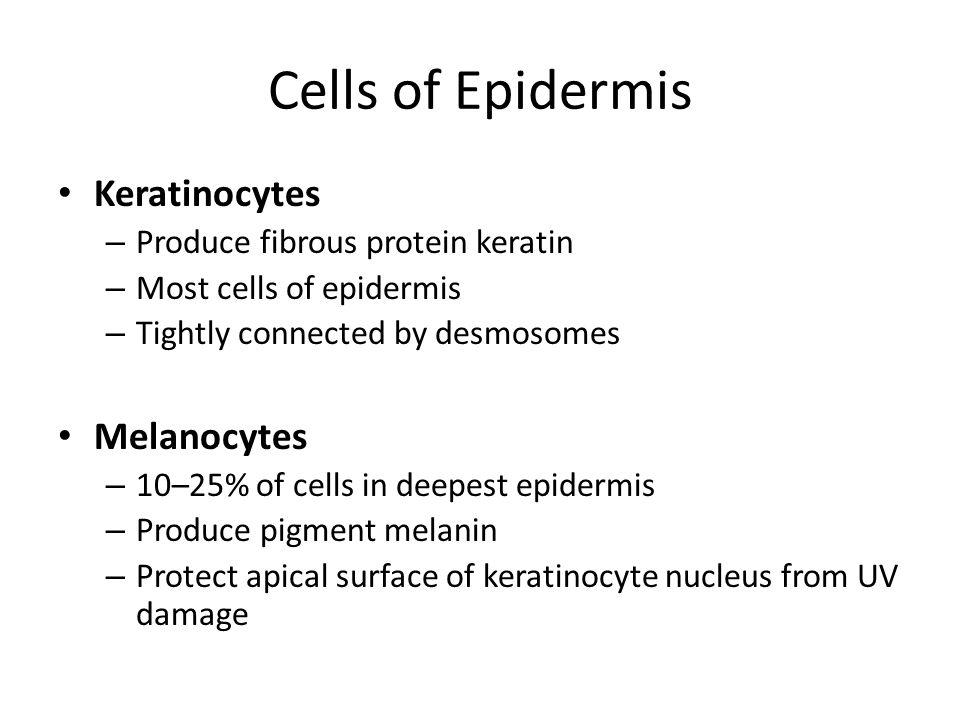 Cells of Epidermis Keratinocytes – Produce fibrous protein keratin – Most cells of epidermis – Tightly connected by desmosomes Melanocytes – 10–25% of