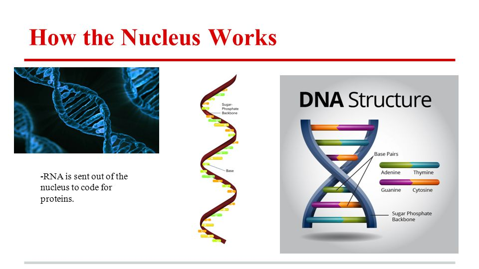 How the Nucleus Works -RNA is sent out of the nucleus to code for proteins.