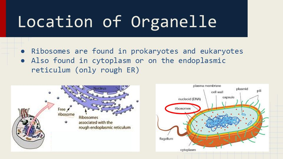 Location of Organelle ● Ribosomes are found in prokaryotes and eukaryotes ● Also found in cytoplasm or on the endoplasmic reticulum (only rough ER)