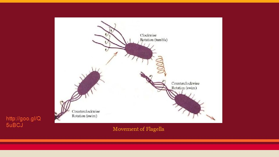 Movement of Flagella http://goo.gl/Q 5uBCJ