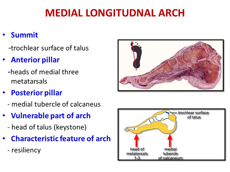 MEDIAL LONGITUDNAL ARCH Summit - trochlear surface of talus Anterior pillar - heads of medial three metatarsals Posterior pillar - medial tubercle of calcaneus Vulnerable part of arch - head of talus (keystone) Characteristic feature of arch - resiliency