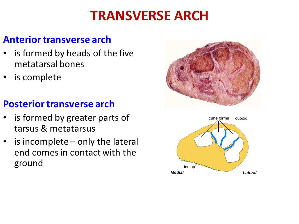 TRANSVERSE ARCH Anterior transverse arch is formed by heads of the five metatarsal bones is complete Posterior transverse arch is formed by greater parts of tarsus & metatarsus is incomplete – only the lateral end comes in contact with the ground