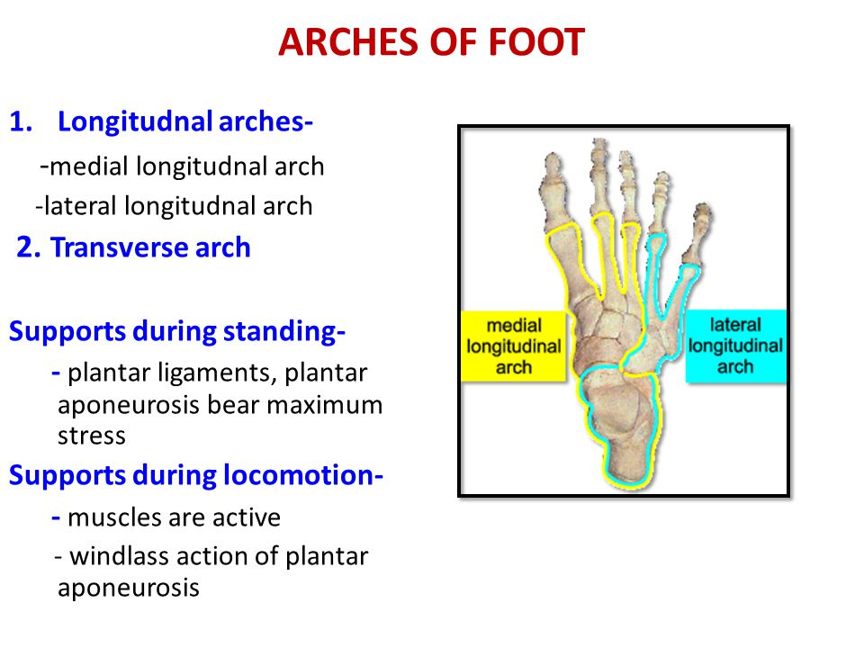 ARCHES OF FOOT 1.Longitudnal arches- - medial longitudnal arch -lateral longitudnal arch 2.