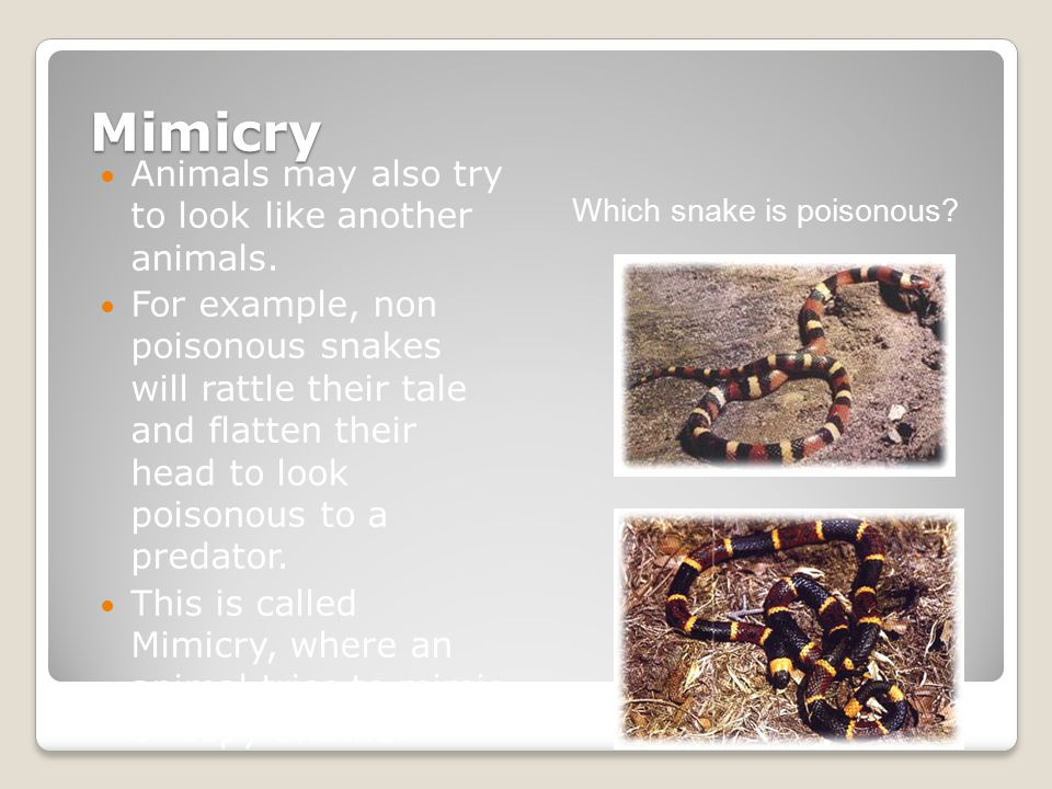 Mimicry Animals may also try to look like another animals.