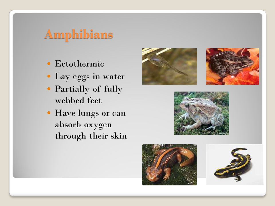 Amphibians Ectothermic Lay eggs in water Partially of fully webbed feet Have lungs or can absorb oxygen through their skin