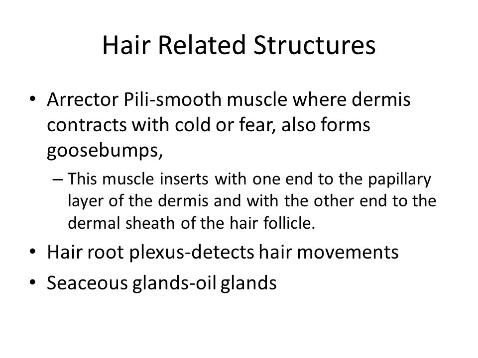 Parts of Hair – Shaft-visible part Medulla(central core) Cortex (bulky layer) Cuticle (heavily keratinized; protects hair) – Root-below the surface –