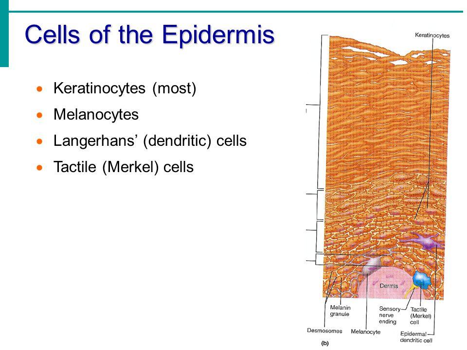 Cells of the Epidermis  Keratinocytes (most)  Melanocytes  Langerhans' (dendritic) cells  Tactile (Merkel) cells