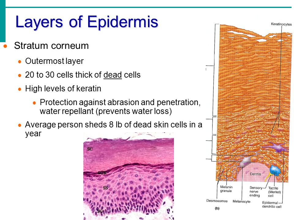 Layers of Epidermis  Stratum corneum  Outermost layer  20 to 30 cells thick of dead cells  High levels of keratin  Protection against abrasion and penetration, water repellant (prevents water loss)  Average person sheds 8 lb of dead skin cells in a year