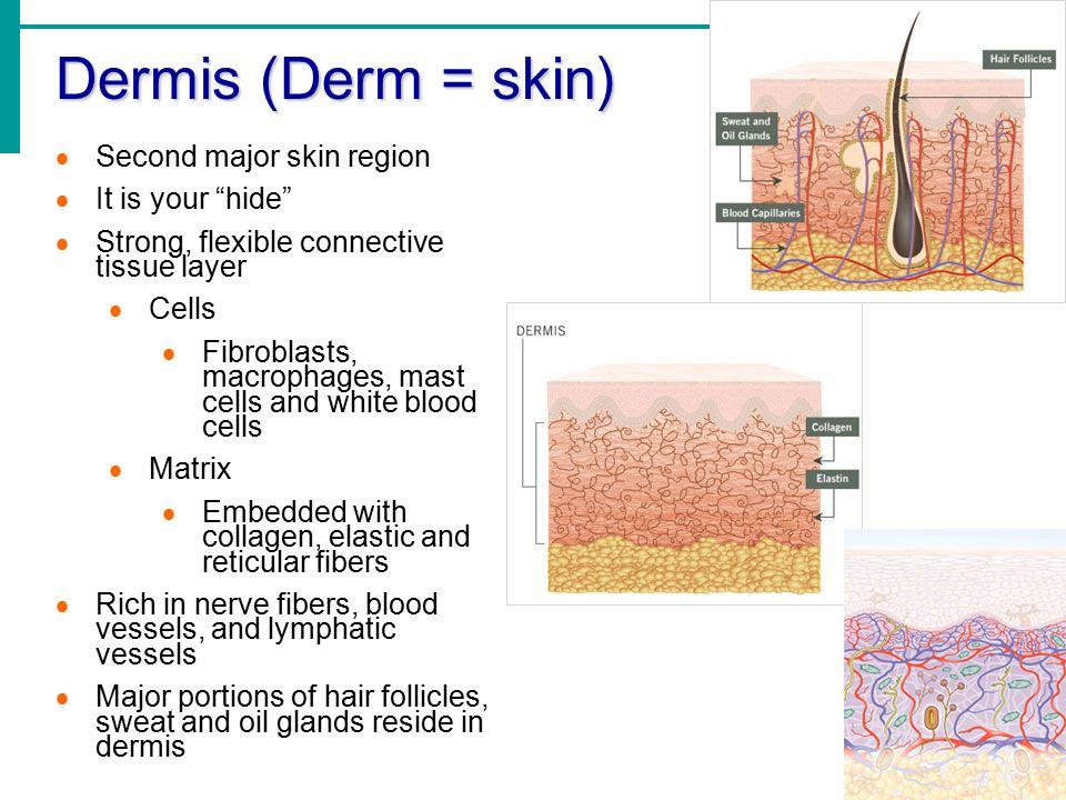 "Dermis (Derm = skin)  Second major skin region  It is your ""hide""  Strong, flexible connective tissue layer  Cells  Fibroblasts, macrophages, mas"