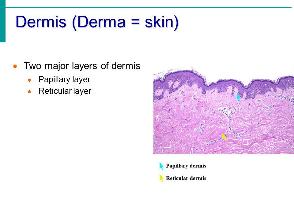  Two major layers of dermis  Papillary layer  Reticular layer Dermis (Derma = skin)