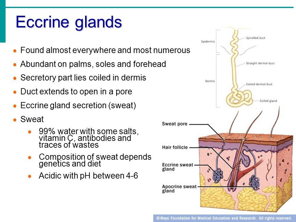 Eccrine glands  Found almost everywhere and most numerous  Abundant on palms, soles and forehead  Secretory part lies coiled in dermis  Duct extends to open in a pore  Eccrine gland secretion (sweat)  Sweat  99% water with some salts, vitamin C, antibodies and traces of wastes  Composition of sweat depends on genetics and diet  Acidic with pH between 4-6