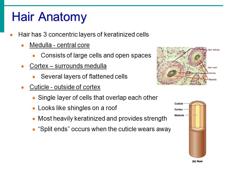Hair Anatomy  Hair has 3 concentric layers of keratinized cells  Medulla - central core  Consists of large cells and open spaces  Cortex – surrounds medulla  Several layers of flattened cells  Cuticle - outside of cortex  Single layer of cells that overlap each other  Looks like shingles on a roof  Most heavily keratinized and provides strength  Split ends occurs when the cuticle wears away