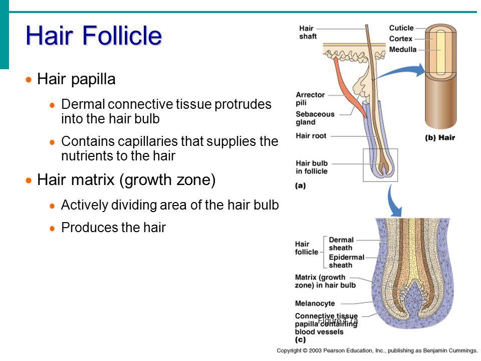 Hair Follicle  Hair papilla  Dermal connective tissue protrudes into the hair bulb  Contains capillaries that supplies the nutrients to the hair 